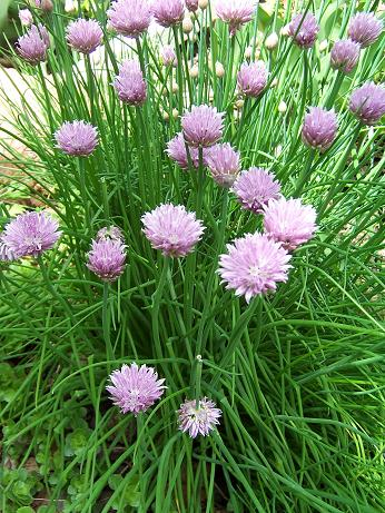 Chives_PCO_JP