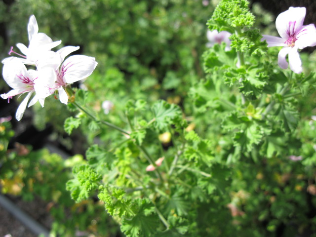 Scented_Geranium_Herb_PCO_JP
