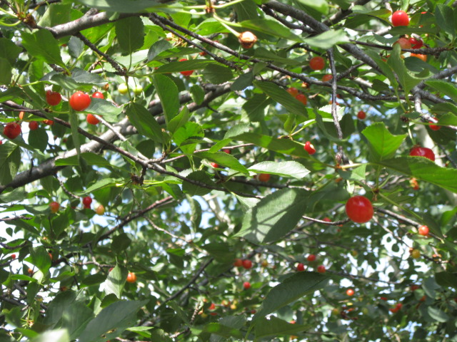 Types Of Cherry Trees Pictures