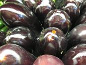 eggplant_pcojen