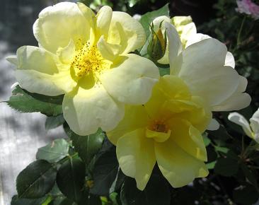 Shrub roses phelan gardens color of bloom bright yellow flowers mightylinksfo