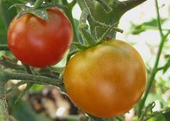 tomatoblackcherrylr_pcojen