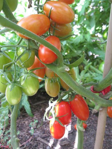 tomatojulietlr_pcojen