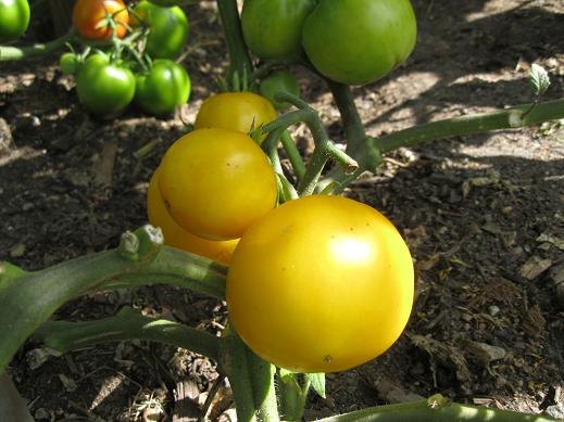 tomatolemonboylr_pcojen