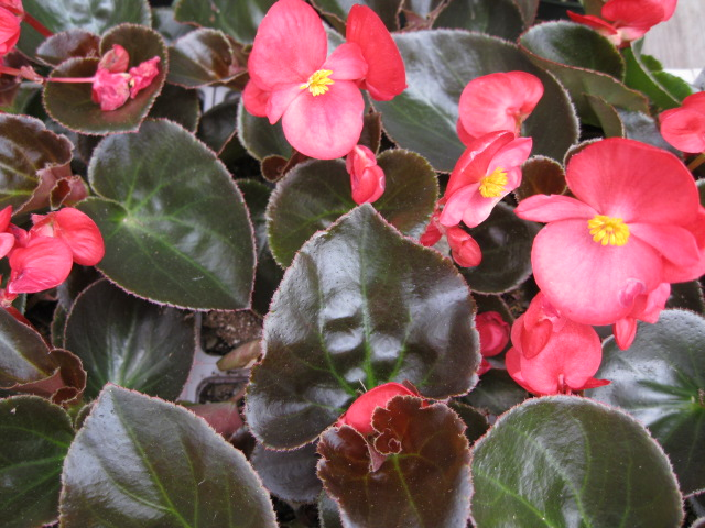 Annuals For Shade Phelan Gardens