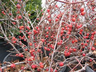 cotoneastercranberrywinterberrieslr_pcojp