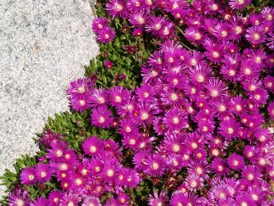 delospermatablemountainiceplant_photocourtesyplantselect