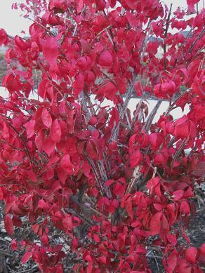 euonymusburningbushfallcolor_pcojen