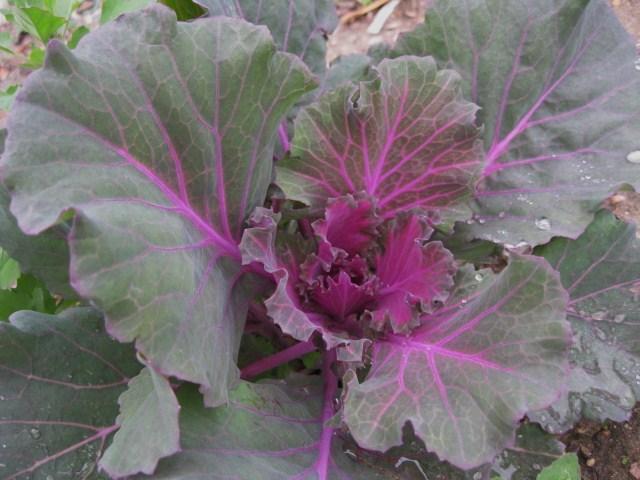 floweringcabbage_pcojen