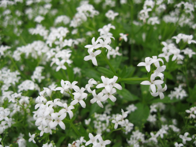 galium_close_pcojen