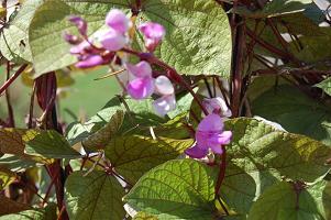 hyacinthbeanlr_pcokristykretsinger