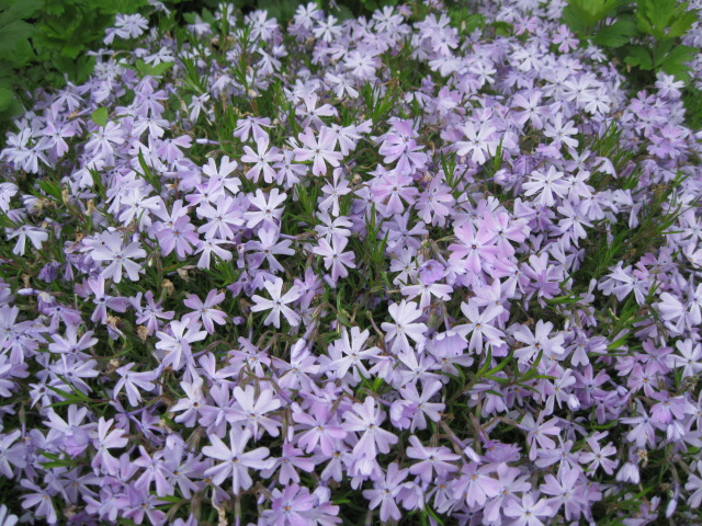 phlox_creeping_blue_pcojen