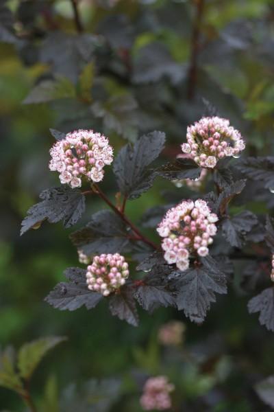 physocarpussummerwineflower_pcobaileynurseriesinc