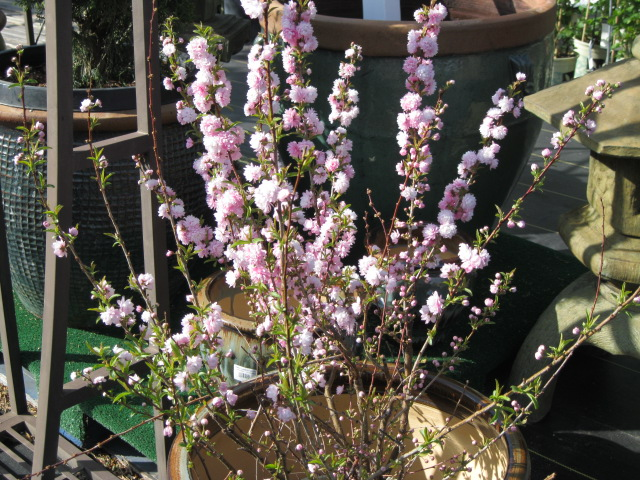 prunuspinkfloweringalmond_pcojen