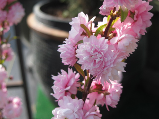 prunuspinkfloweringalmondclose_pcojen