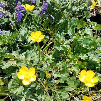 Perennial groundcovers phelan gardens creeping buttercups ranunculus repens mightylinksfo