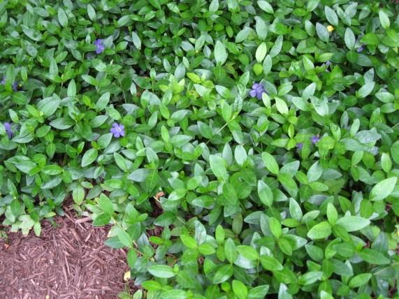 Perennial Groundcovers Phelan Gardens