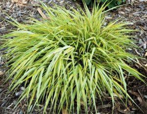 Hakonechloa Japanese Forest Grass Aureola