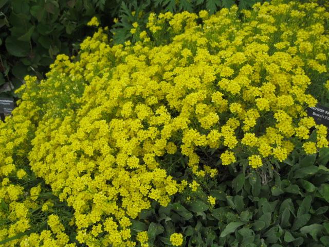 Perennials for sun phelan gardens auriniabasketofgoldpcojen mightylinksfo