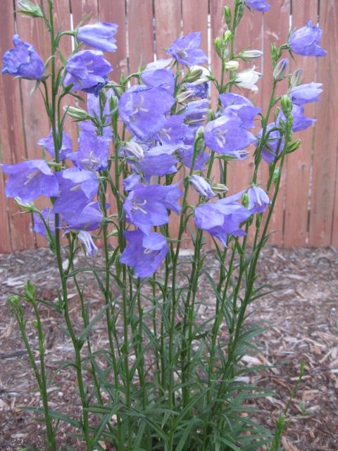 Perennials for sun phelan gardens height flower mightylinksfo Images