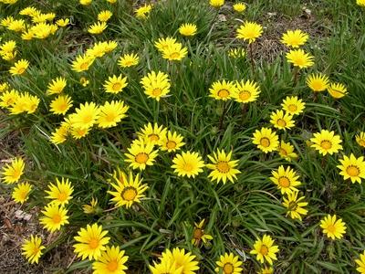 gazanialineariscoloradogold_photocourtesyplantselect