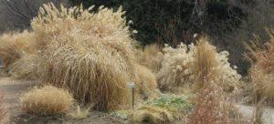 grasses_winter_pcojen
