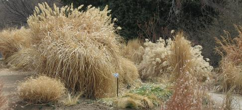 Hardy ornamental grasses phelan gardens grasseswinterpcojen ornamental grasses workwithnaturefo