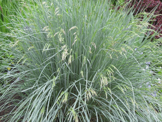 Hardy ornamental grasses phelan gardens for Low growing perennial grasses