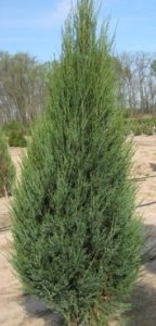 juniper_skyrocket_pcowillowaynursery