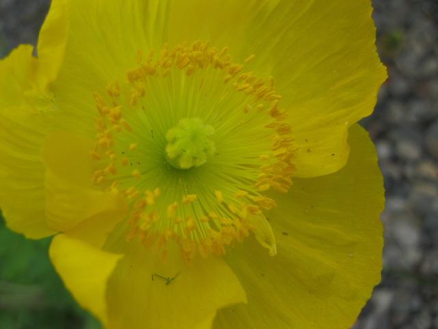papaver_icelandic_yellow_pcojen