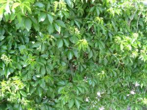 parthenocissus_virginiacreeper_pcojen