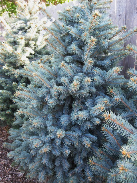 picea_colorado_pcojen