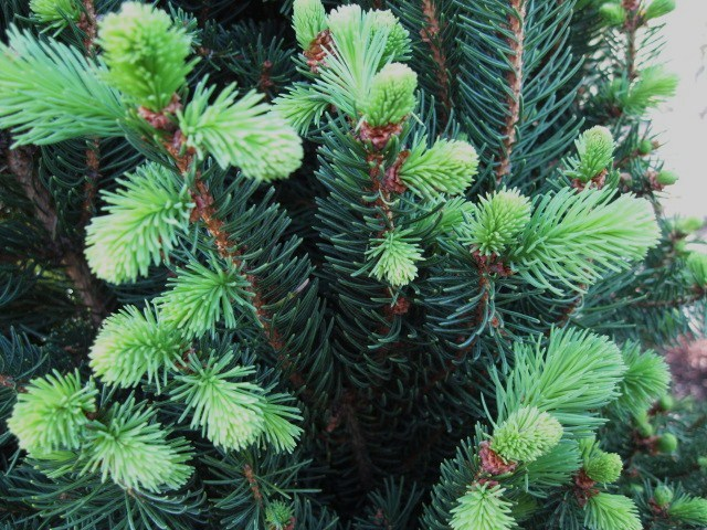 picea_cuppressina_close_pcojen