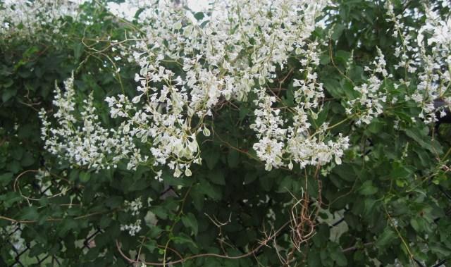 Vines phelan gardens silver lace vine polygonum fallopia mightylinksfo