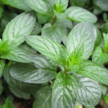 Grow Fresh Herbs