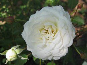 Shrub roses phelan gardens color of bloom clustered creamy white mightylinksfo
