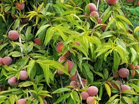 Peach Trees Are Early Bloomers And All Self Fertile Most Ripen In Late July August