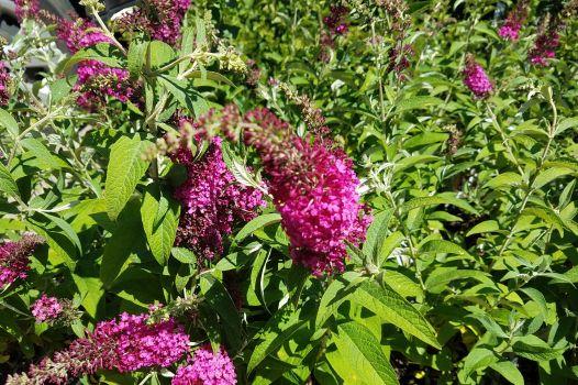 Shrubs For Sun Phelan Gardens