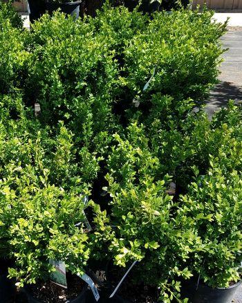 Evergreen Shrubs Phelan Gardens