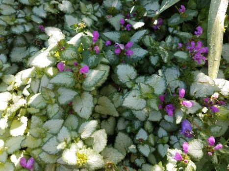 Perennial groundcovers phelan gardens pink pewter orchid frost mightylinksfo